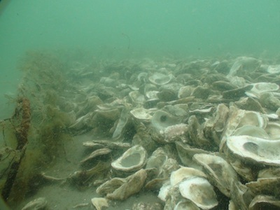 underwater picture of oysters
