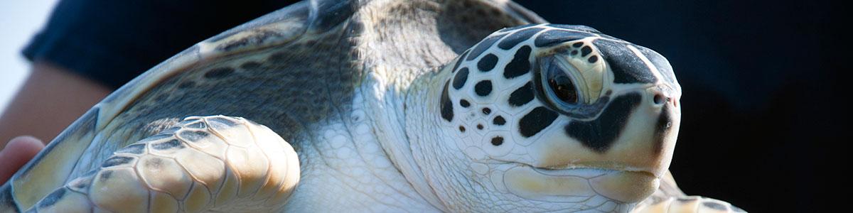 IMS-Paterson-Lab-sea-turtle-release-photo-1200×300