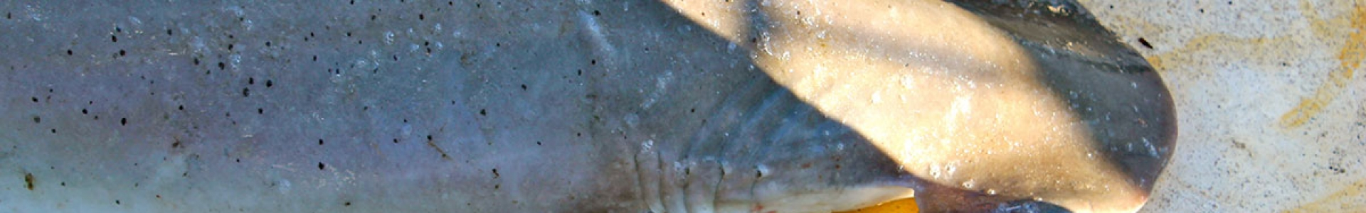 IMS-image-of-bonnethead-shark-during-tagging-credit-E-Woodward