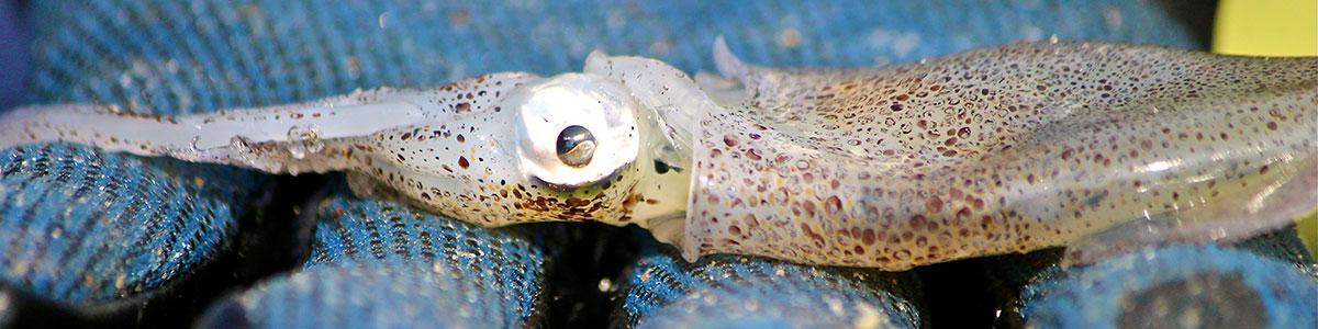 IMS-photo-of-Lolliguncula-brevis-aka-Atlantic-brief-squid
