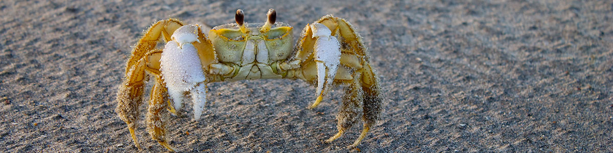 IMS-photo-of-a-curious-ghost-crab-makes-his-way-across-a-washover-fan-at-Onslow-Beach