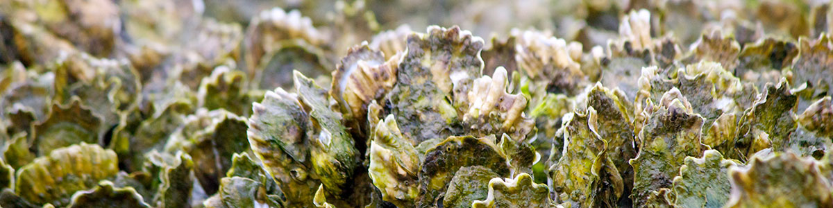 IMS-photo-of-a-oyster-reef-in-Middle-Marsh