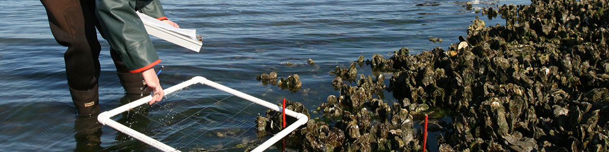 UNC-Institute-of-Marine-Science-IMS-oyster-bed-photo